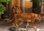 lions 90x65 Zoo is cruelty